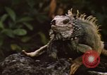 Image of Iguana Lizard Fort Sherman Panama, 1969, second 2 stock footage video 65675054598