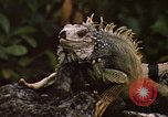 Image of Iguana Lizard Fort Sherman Panama, 1969, second 3 stock footage video 65675054598