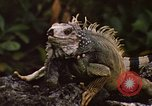 Image of Iguana Lizard Fort Sherman Panama, 1969, second 4 stock footage video 65675054598