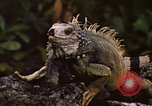 Image of Iguana Lizard Fort Sherman Panama, 1969, second 5 stock footage video 65675054598
