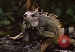 Image of Iguana Lizard Fort Sherman Panama, 1969, second 6 stock footage video 65675054598