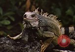 Image of Iguana Lizard Fort Sherman Panama, 1969, second 7 stock footage video 65675054598