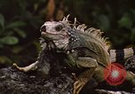 Image of Iguana Lizard Fort Sherman Panama, 1969, second 8 stock footage video 65675054598