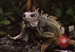 Image of Iguana Lizard Fort Sherman Panama, 1969, second 9 stock footage video 65675054598