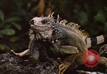 Image of Iguana Lizard Fort Sherman Panama, 1969, second 10 stock footage video 65675054598