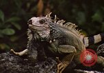 Image of Iguana Lizard Fort Sherman Panama, 1969, second 11 stock footage video 65675054598