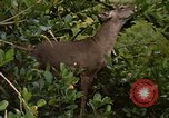 Image of small deer Fort Sherman Panama, 1969, second 2 stock footage video 65675054599