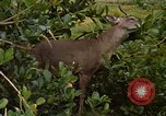 Image of small deer Fort Sherman Panama, 1969, second 3 stock footage video 65675054599