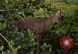 Image of small deer Fort Sherman Panama, 1969, second 4 stock footage video 65675054599