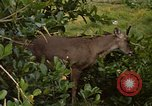 Image of small deer Fort Sherman Panama, 1969, second 6 stock footage video 65675054599