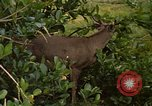 Image of small deer Fort Sherman Panama, 1969, second 7 stock footage video 65675054599
