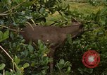 Image of small deer Fort Sherman Panama, 1969, second 9 stock footage video 65675054599