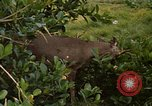 Image of small deer Fort Sherman Panama, 1969, second 10 stock footage video 65675054599