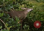 Image of small deer Fort Sherman Panama, 1969, second 11 stock footage video 65675054599