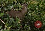 Image of small deer Fort Sherman Panama, 1969, second 12 stock footage video 65675054599
