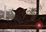 Image of jaguar Fort Sherman Panama, 1969, second 8 stock footage video 65675054600