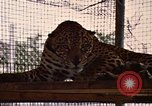 Image of jaguar Fort Sherman Panama, 1969, second 10 stock footage video 65675054600