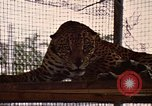 Image of jaguar Fort Sherman Panama, 1969, second 11 stock footage video 65675054600