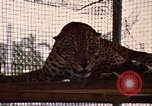 Image of jaguar Fort Sherman Panama, 1969, second 12 stock footage video 65675054600
