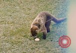 Image of Coatimundi Fort Sherman Panama, 1969, second 1 stock footage video 65675054601