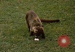 Image of Coatimundi Fort Sherman Panama, 1969, second 2 stock footage video 65675054601