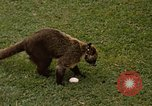 Image of Coatimundi Fort Sherman Panama, 1969, second 4 stock footage video 65675054601