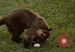 Image of Coatimundi Fort Sherman Panama, 1969, second 6 stock footage video 65675054601