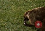 Image of Coatimundi Fort Sherman Panama, 1969, second 11 stock footage video 65675054601