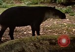 Image of tapir Fort Sherman Panama, 1969, second 2 stock footage video 65675054604