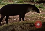 Image of tapir Fort Sherman Panama, 1969, second 3 stock footage video 65675054604