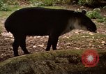 Image of tapir Fort Sherman Panama, 1969, second 4 stock footage video 65675054604