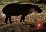 Image of tapir Fort Sherman Panama, 1969, second 5 stock footage video 65675054604