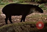 Image of tapir Fort Sherman Panama, 1969, second 6 stock footage video 65675054604