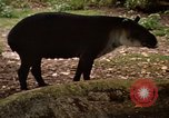 Image of tapir Fort Sherman Panama, 1969, second 7 stock footage video 65675054604