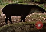 Image of tapir Fort Sherman Panama, 1969, second 8 stock footage video 65675054604