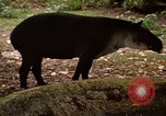 Image of tapir Fort Sherman Panama, 1969, second 9 stock footage video 65675054604