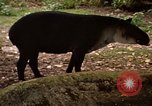 Image of tapir Fort Sherman Panama, 1969, second 10 stock footage video 65675054604