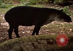 Image of tapir Fort Sherman Panama, 1969, second 11 stock footage video 65675054604