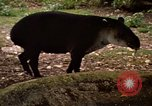 Image of tapir Fort Sherman Panama, 1969, second 12 stock footage video 65675054604