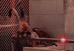 Image of squirrel monkeys United States USA, 1968, second 5 stock footage video 65675054802