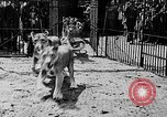 Image of lions The Hague Netherlands, 1930, second 8 stock footage video 65675054969