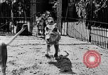 Image of lions The Hague Netherlands, 1930, second 9 stock footage video 65675054969