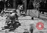 Image of lions The Hague Netherlands, 1930, second 10 stock footage video 65675054969
