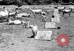 Image of goat herd Mesquite New Mexico USA, 1931, second 12 stock footage video 65675054991