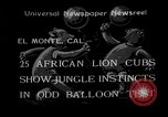 Image of lion cubs El Monte California USA, 1933, second 1 stock footage video 65675055008