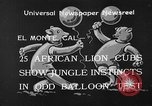 Image of lion cubs El Monte California USA, 1933, second 2 stock footage video 65675055008