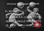 Image of lion cubs El Monte California USA, 1933, second 5 stock footage video 65675055008