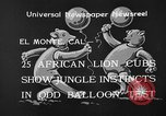 Image of lion cubs El Monte California USA, 1933, second 6 stock footage video 65675055008