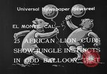 Image of lion cubs El Monte California USA, 1933, second 7 stock footage video 65675055008
