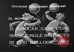 Image of lion cubs El Monte California USA, 1933, second 8 stock footage video 65675055008